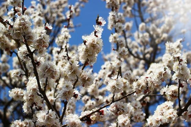 Gałęzie drzewa z wiosennych kwiatów na jasnym tle błękitnego nieba i promienie słońca.