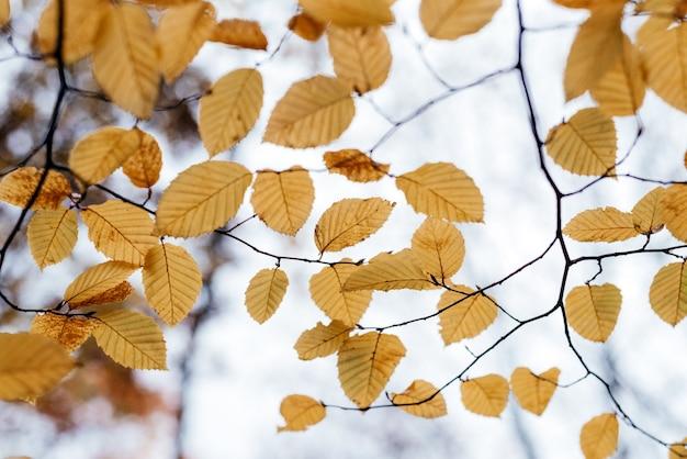 Gałęzie drzewa z żółtymi liśćmi jesiennego tła