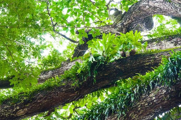 Gałęzie dużego drzewa porośnięte pasożytniczymi paprociami i mchem