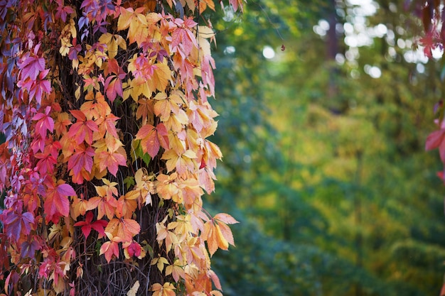 Gałęzie dziewiczych winogron jesienią świeże liście winogron na pięknym tle niewyraźne wielokolorowe jesienne liście dziewczęcej winogron. selektywna ostrość, miejsce na kopię
