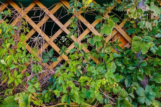 Gałęzie dzikich winogron z liśćmi na drewnianej kratownicy ogrodowej altany