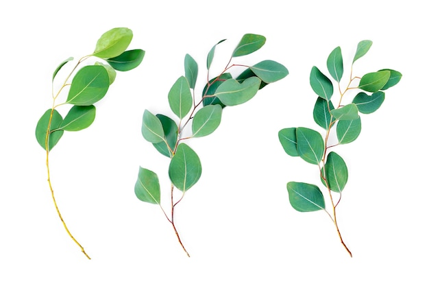 Gałęzie eukaliptusa na białym tle.