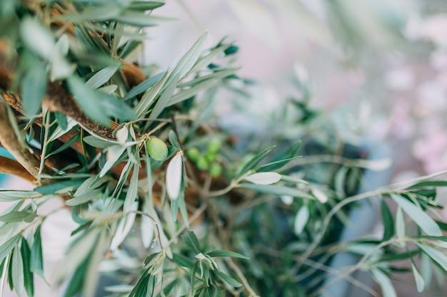 Gałęzie i liście drzewa oliwnego w gaju oliwnym