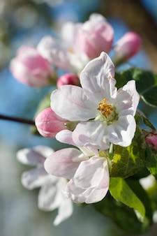 Gałęzie jabłoni w okresie kwitnienia wiosny z błękitnym niebem w tle.