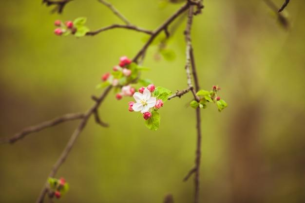 Gałęzie jabłoni z różowe kwiaty, naturalne kwitnące sezonowe tło wiosna. skopiuj miejsce na zielonym tle