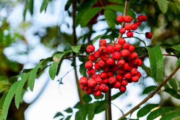 Gałęzie Jarzębiny Z Dojrzałymi Owocami Premium Zdjęcia