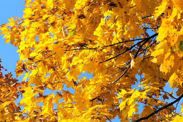 Gałęzie jasnożółtego klonu liści w jesiennym parku w przyrodzie, szczegóły podczas słonecznej pogody