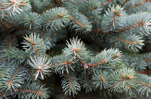 Gałęzie jodły. świąteczna powierzchnia