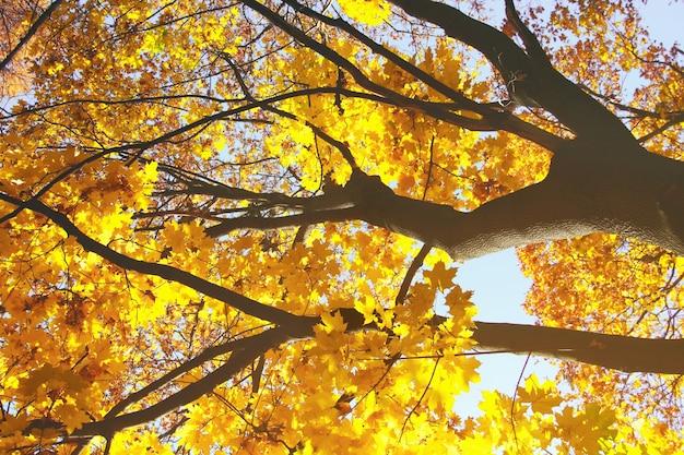 Gałęzie klonu na tle błękitnego nieba jasnożółte liście klonu na drzewie