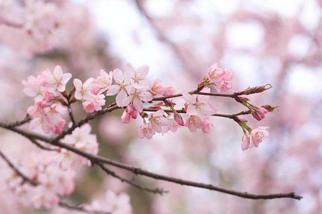 Gałęzie kwiatów wiśni. naturalne tło wiosna