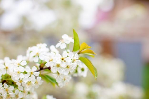 Gałęzie kwiatów wiśni w przyrodzie