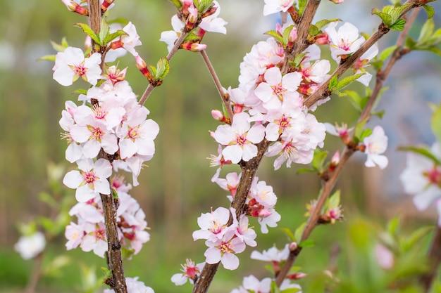 Gałęzie kwiatów wiśni w tle ogrodu