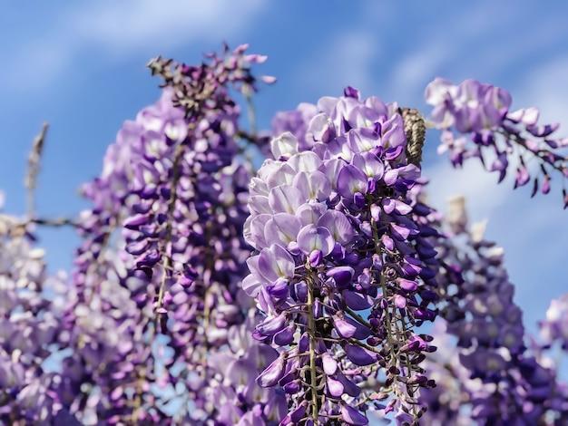 Gałęzie kwitnącej glicynii z bliska na tle niebieskiego nieba. naturalne tło kwiatowy.