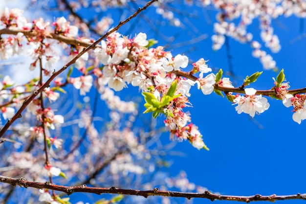 Gałęzie kwitnącej moreli na wiosnę