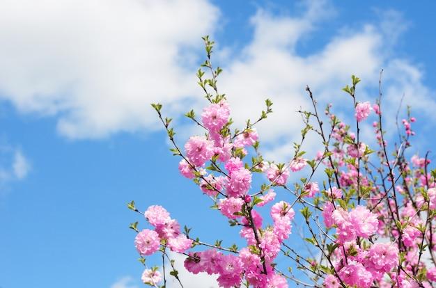 Gałęzie kwitnącej sakury na tle błękitnego nieba z chmurami. miejsce na tekst.