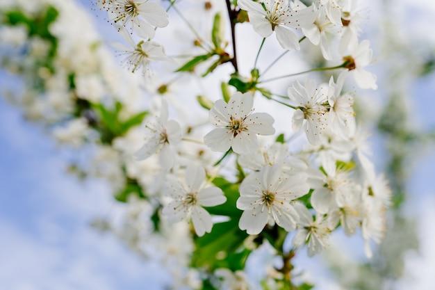Gałęzie kwitnących drzew piękno wiosennej natury