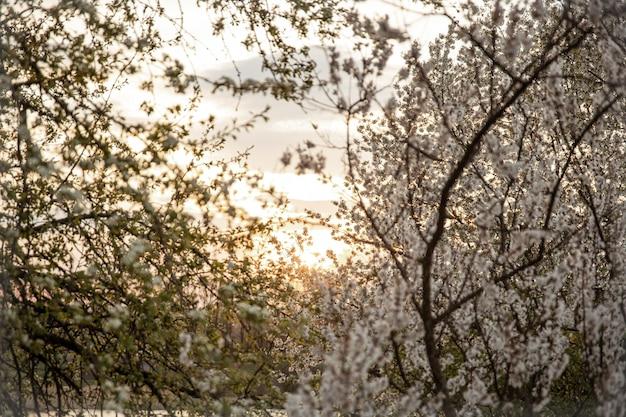 Gałęzie kwitnących drzew wieczorem o zachodzie słońca