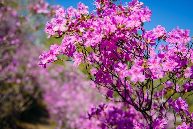 Gałęzie kwitnących różaneczników w słoneczny wiosenny dzień przeciw błękitne niebo. delikatne różowe kwiaty ałtaju sakura, zbliżenie, selektywne focus
