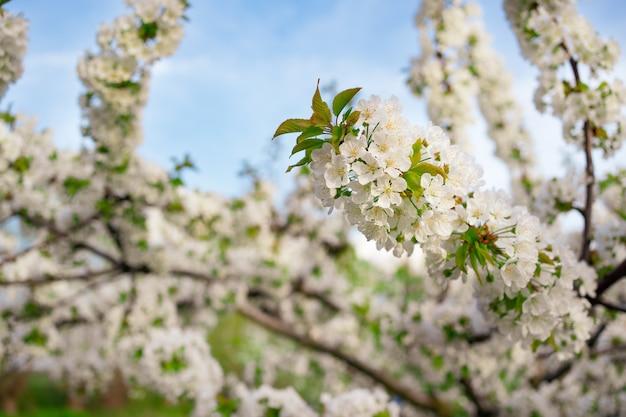 Gałęzie kwitnących wiosennych drzew na tle błękitnego nieba. zapach kwiatów w sadzie. aromaterapia. piękno natury.