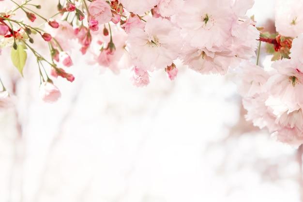 Gałęzie kwitnących wiosennych drzew. sakura kwiaty