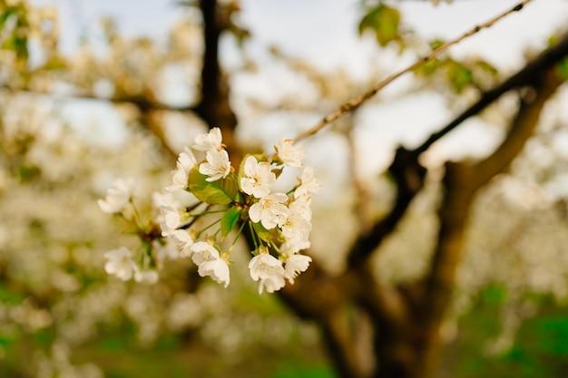 Gałęzie kwitnących wiosennych drzew w słońcu. zapach kwiatów w sadzie. aromaterapia. piękno natury.