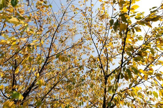 Gałęzie lipy z żółtymi liśćmi na nich