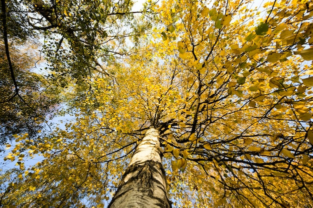 Gałęzie młodej brzozy z żółtymi, jesiennymi liśćmi zwisającymi z drzewa i oświetlone światłem słonecznym widok z dołu drzewa wygląda jak specyficzne oznaki jesieni.