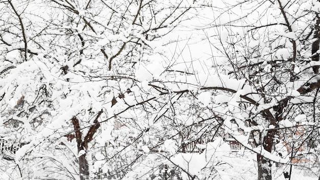 Gałęzie młodej jabłoni pod śniegiem w słoneczny mroźny poranek, ogrodzenie w tle