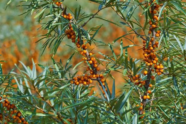 Gałęzie rokitnika z liśćmi i pomarańczowymi owocami z bliska