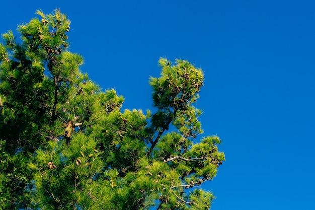 Gałęzie sosen w czarnogórze w pobliżu morza near