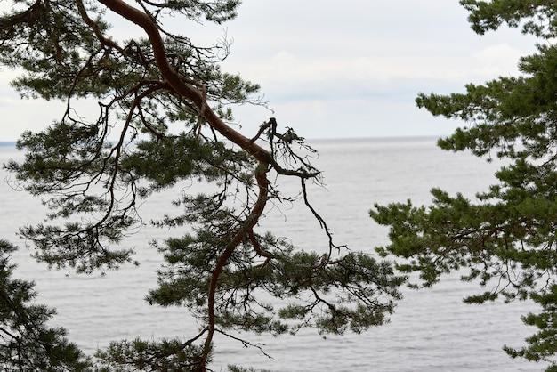 Gałęzie sosnowe na tle jeziora w pochmurny dzień. naturalny krajobraz z gałęziami drzew