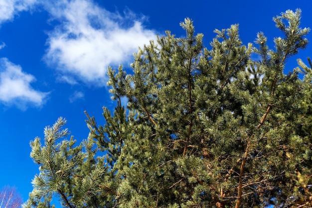 Gałęzie sosny na tle jasnoniebieskiego wiosennego nieba