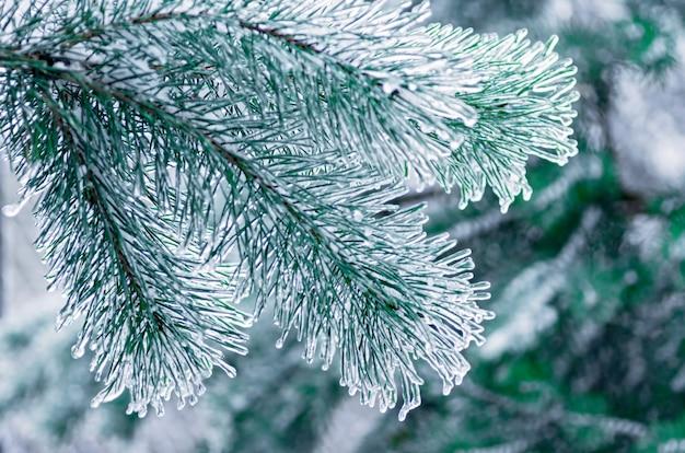 Gałęzie sosny pokryte lodem. marznący deszcz zbliżenie.