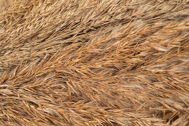 Gałęzie suchej trawy brązowego koloru na białym tle trawa pampasowa na beżowym płótnie