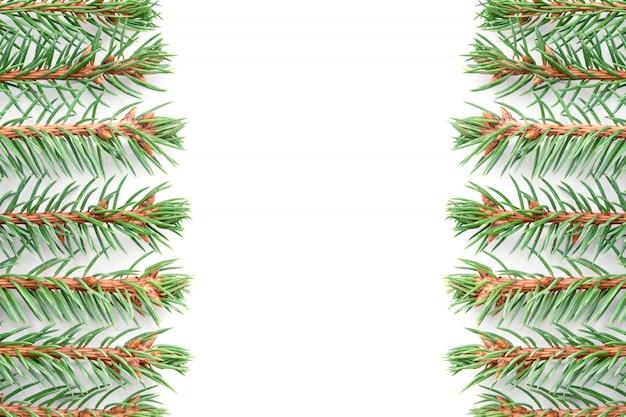 Gałęzie świerka niebieskiego leżą poziomo w równych rzędach na białym tle symetrycznie względem środka.