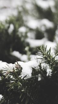 Gałęzie świerkowe pokryte śniegiem zimą