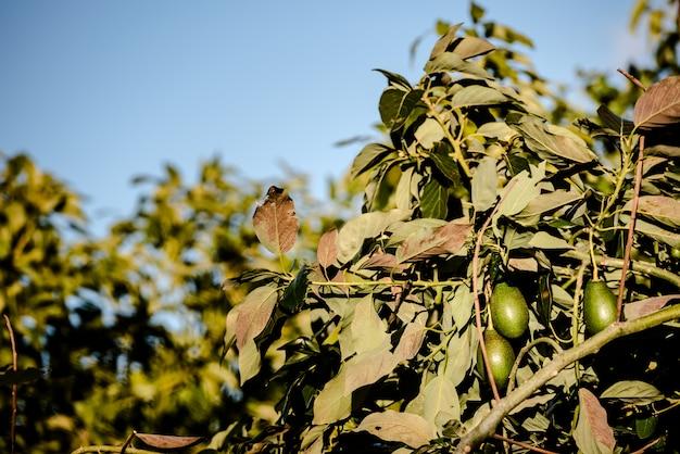 Gałęzie wypełnione awokado o szorstkiej skórze na plantacji.