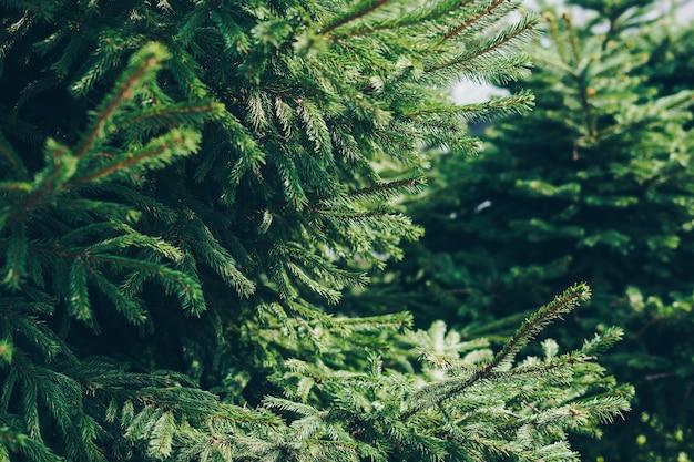 Gałęzie zielonej choinki.