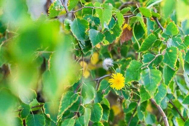 Gałęzie żółtego i zielonego listowia brzozy w ciepły słoneczny dzień jesienią. babie lato.