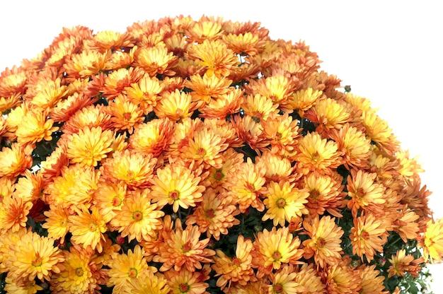 Garnek pięknych pomarańczowych chryzantem jesiennych na białym tle