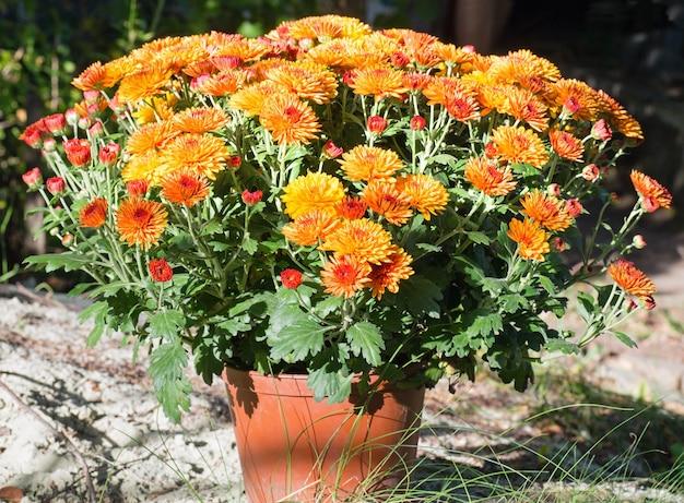 Garnek pięknych pomarańczowych chryzantem jesiennych