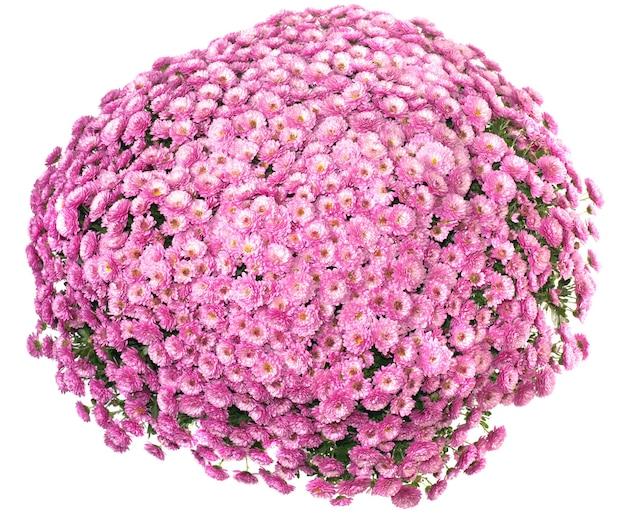 Garnek pięknych różowych jesiennych chryzantem na białym tle