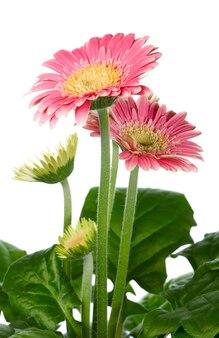 Garnek pięknych różowych kwiatów gerbery na białym tle. kompozytowe zdjęcie makro ze znaczną głębią ostrości.