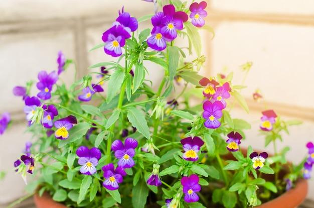Garnek z fioletowymi lub niebieskimi petunyami