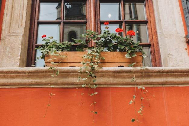 Garnek z kwiatami geranium przed pięknym oknem starego budynku