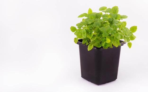 Garnek z młodymi kiełkami mięty. aromatyczna mennica w czarnej flowerpot na białym tle. zielone młode rośliny na białym tle. rolnictwo. skopiuj miejsce