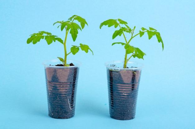 Garnki, pojemniki z młodymi zielonymi sadzonkami pomidorów na niebiesko