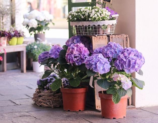 Garnki z pięknymi kwitnącymi błękitnymi i białymi hortensjami kwitną