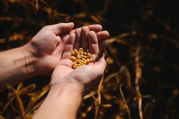 Garść fasoli sojowej w ręce rolnika na tle pola wieczorem czas zachodu słońca. skopiuj miejsce na tekst