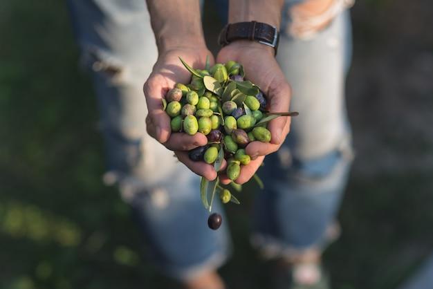Garść oliwek taggiasca lub cailletier, odmiana uprawiana głównie w południowej francji.